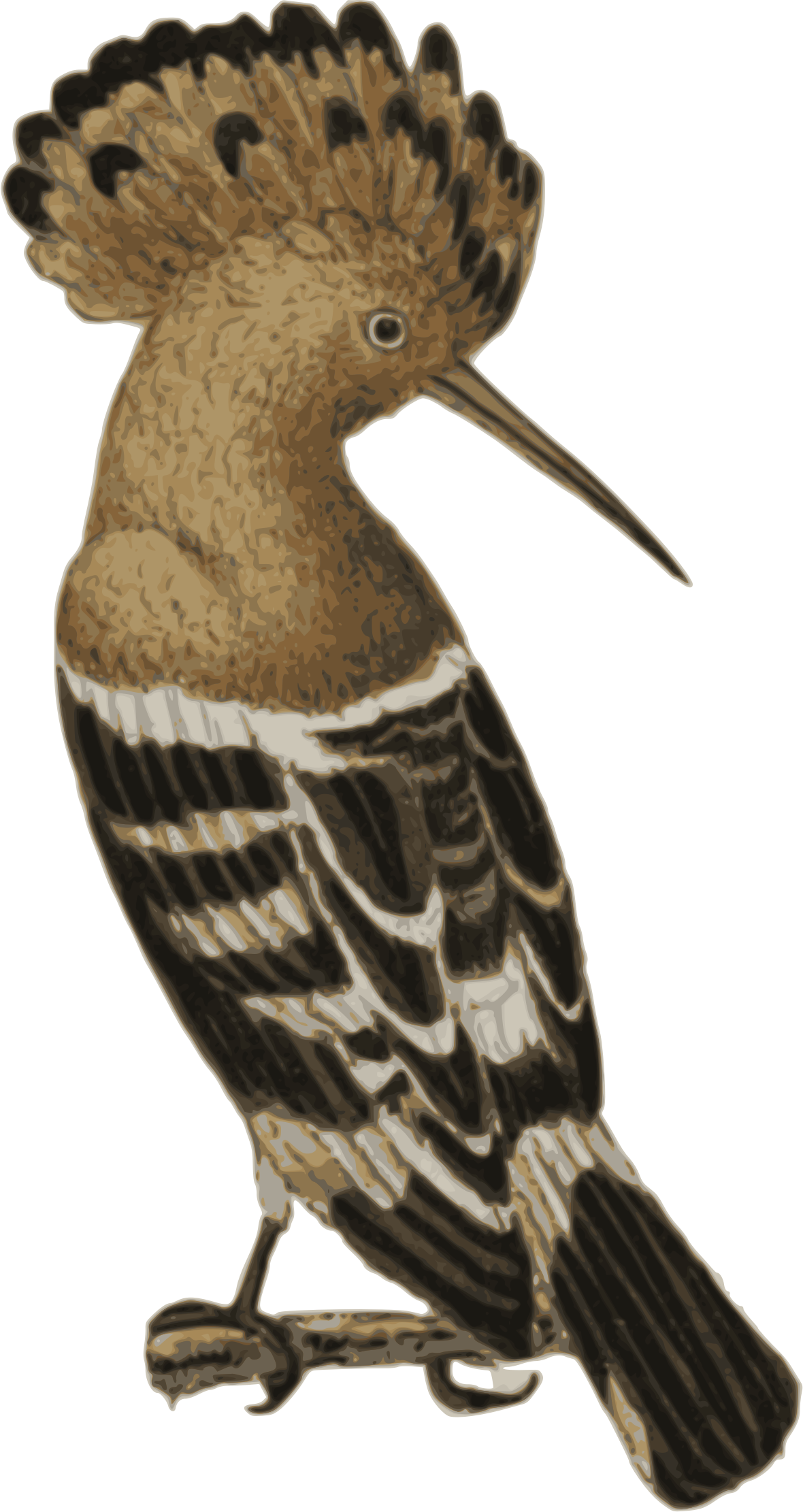 Hoopoe by addysgLLGC