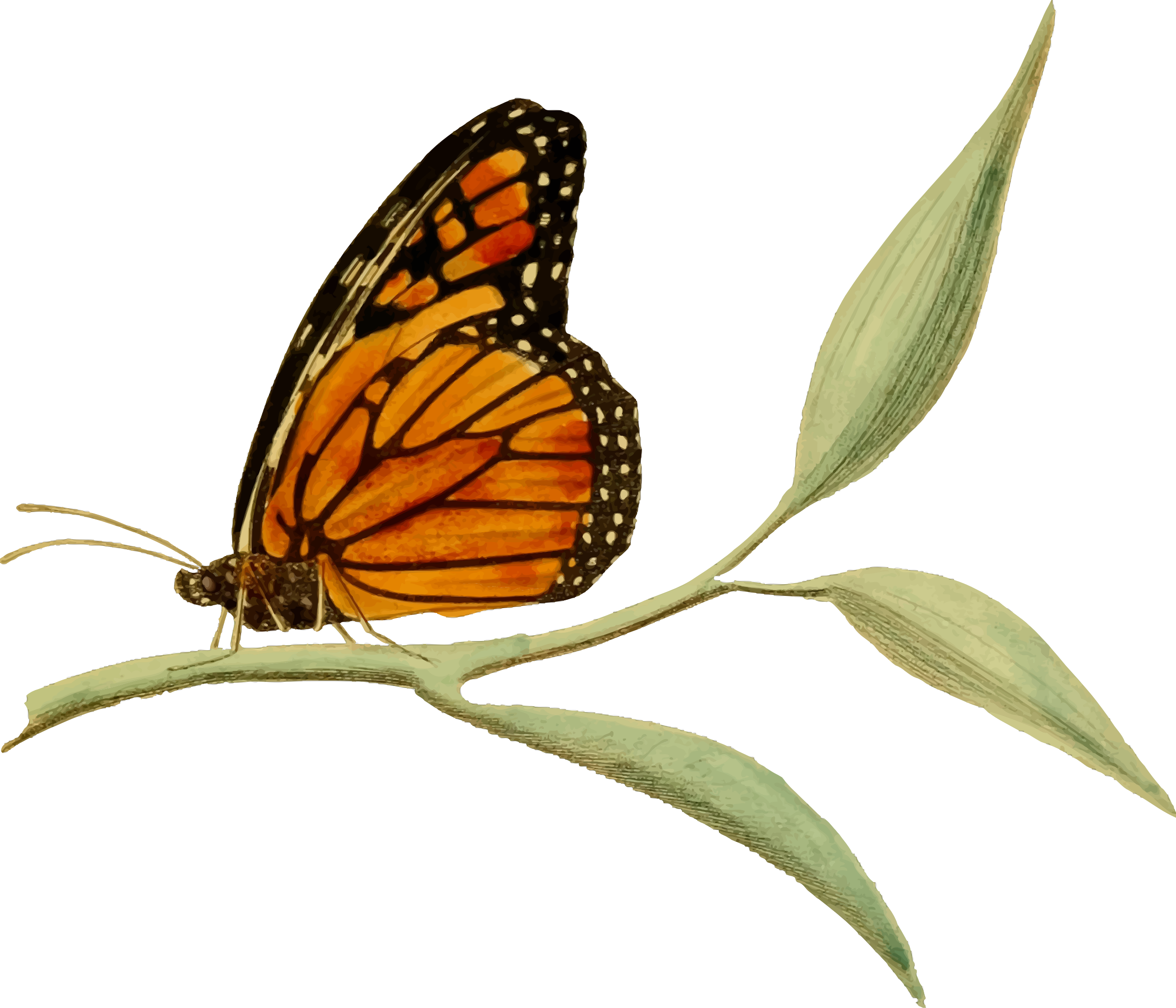 Monarch butterfly 2 by Firkin