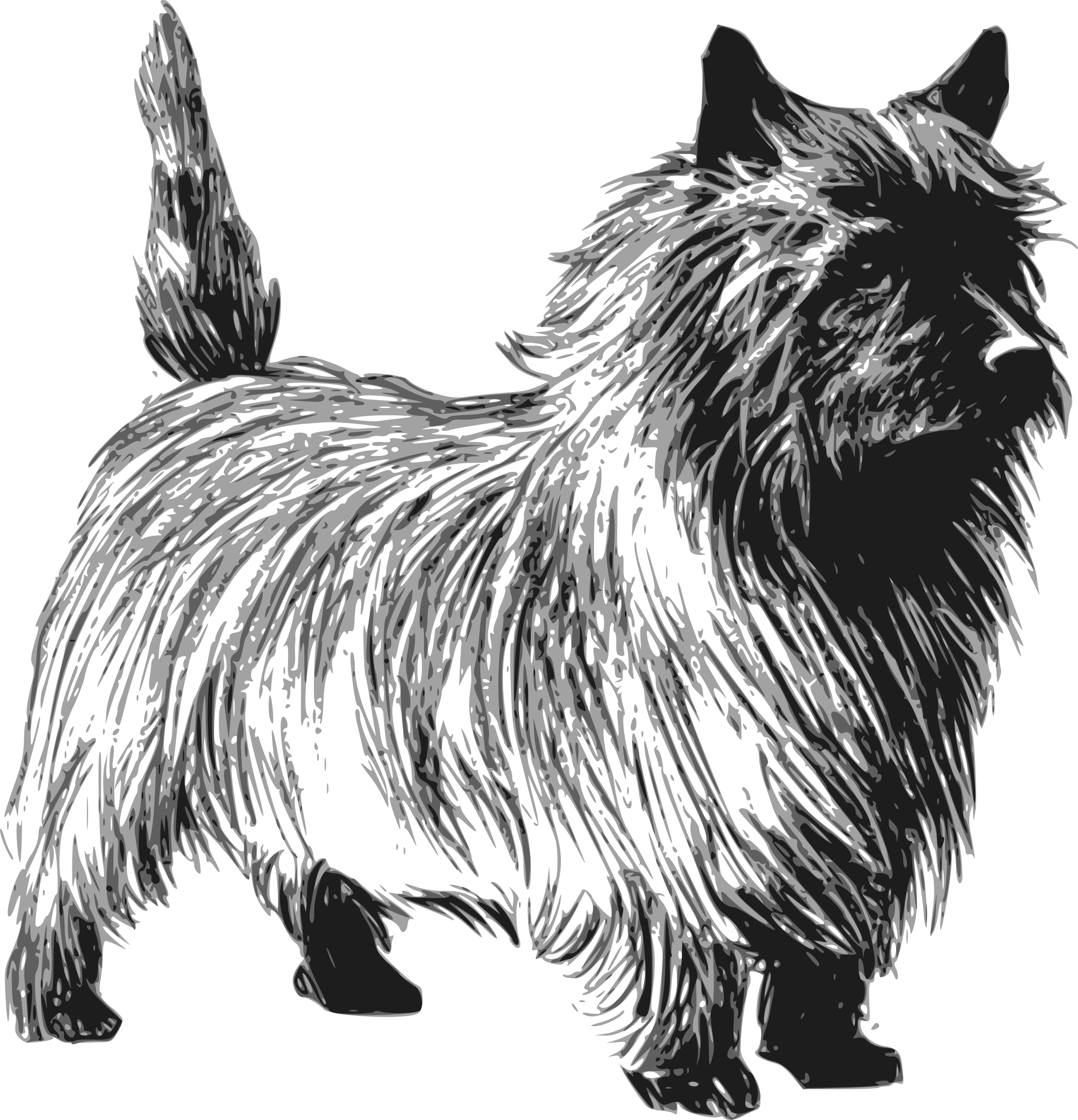Cairn terrier by papapishu