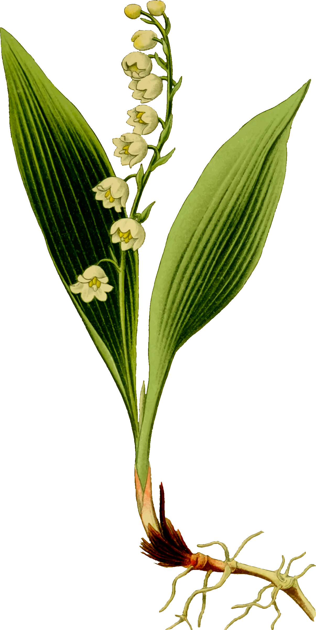 Lily of the valley by Firkin