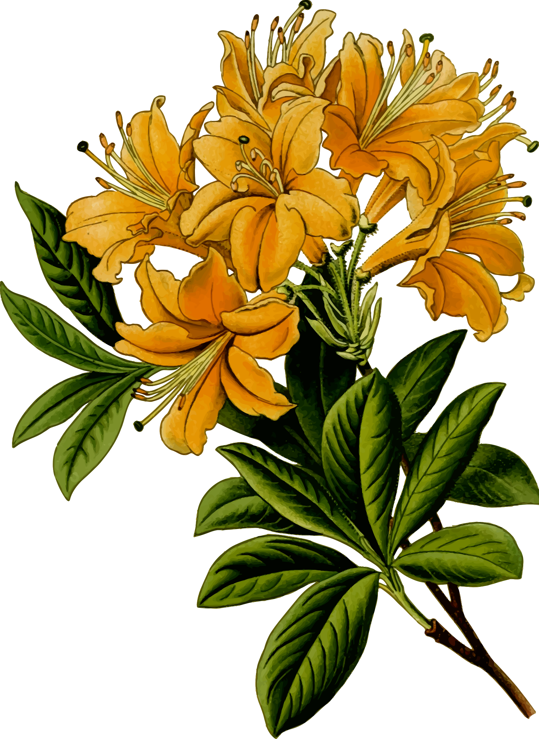 Rhododendron by Firkin