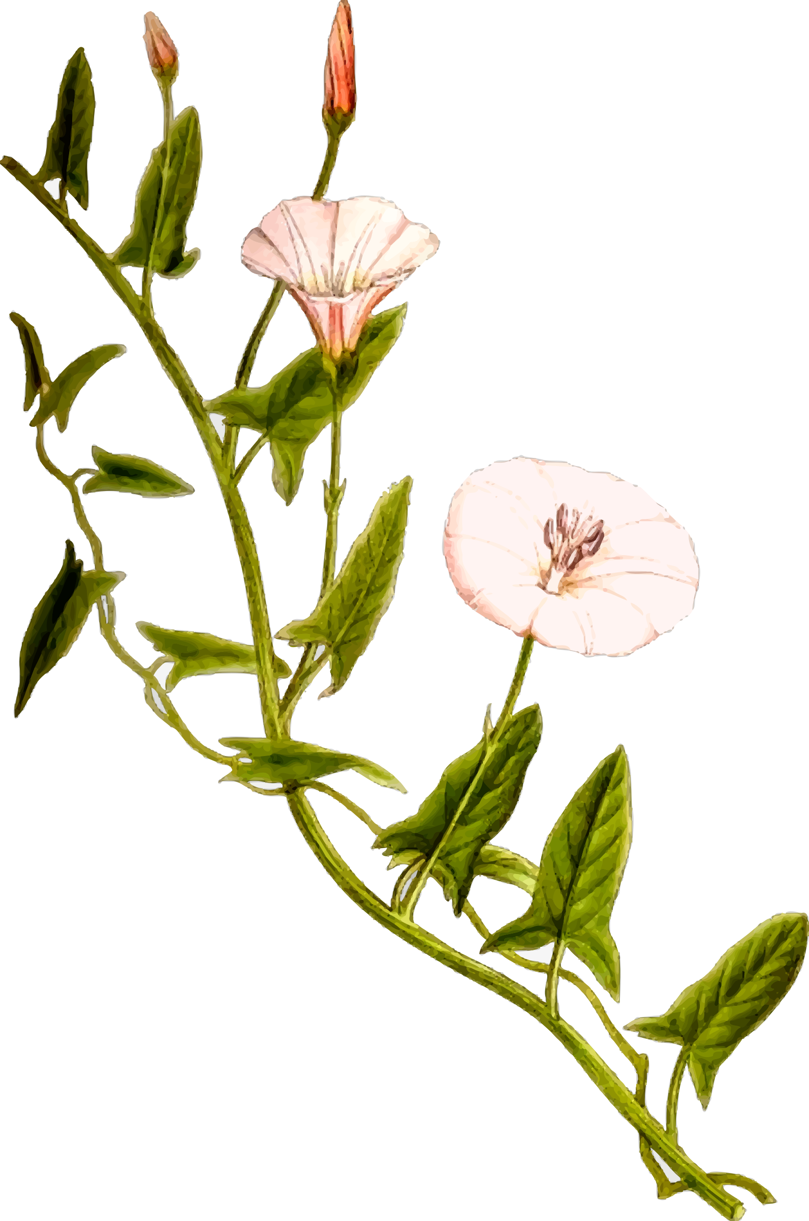 Field bindweed by Firkin