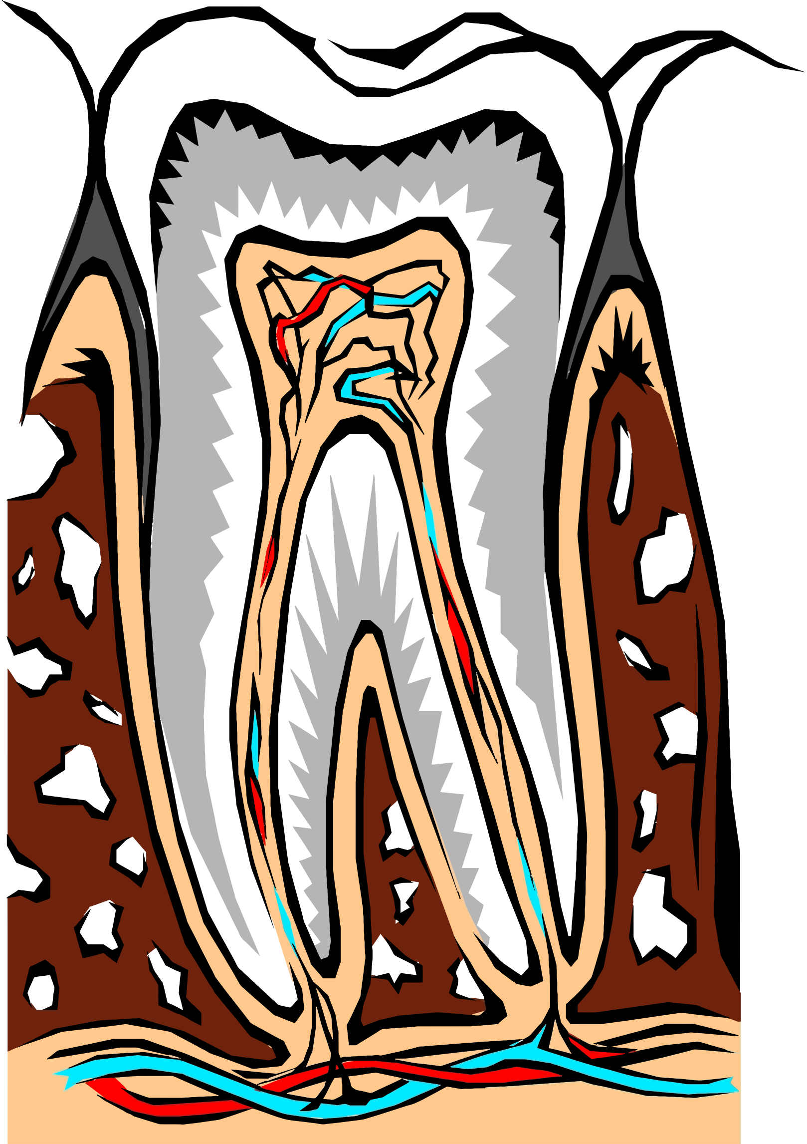 Tooth Cross Section Illustration by GDJ