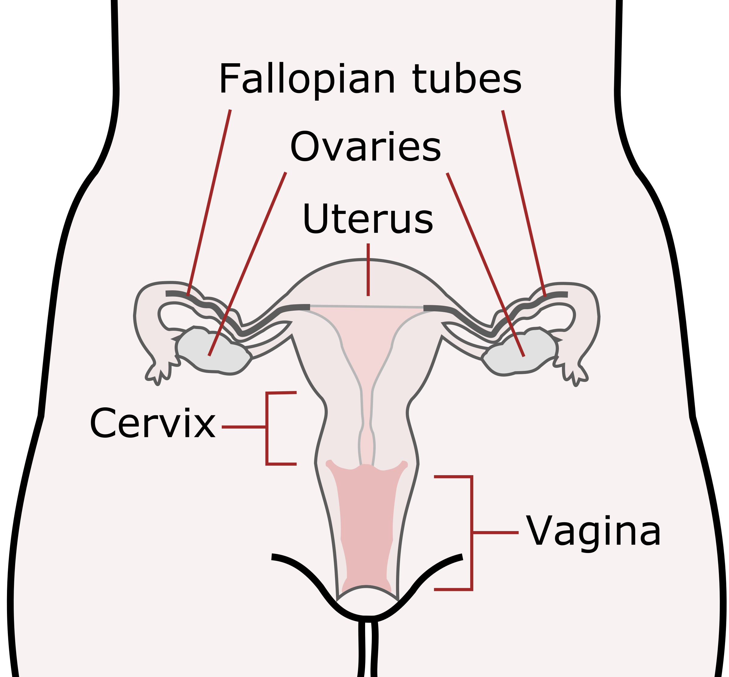 Clipart Female Reproductive Organs