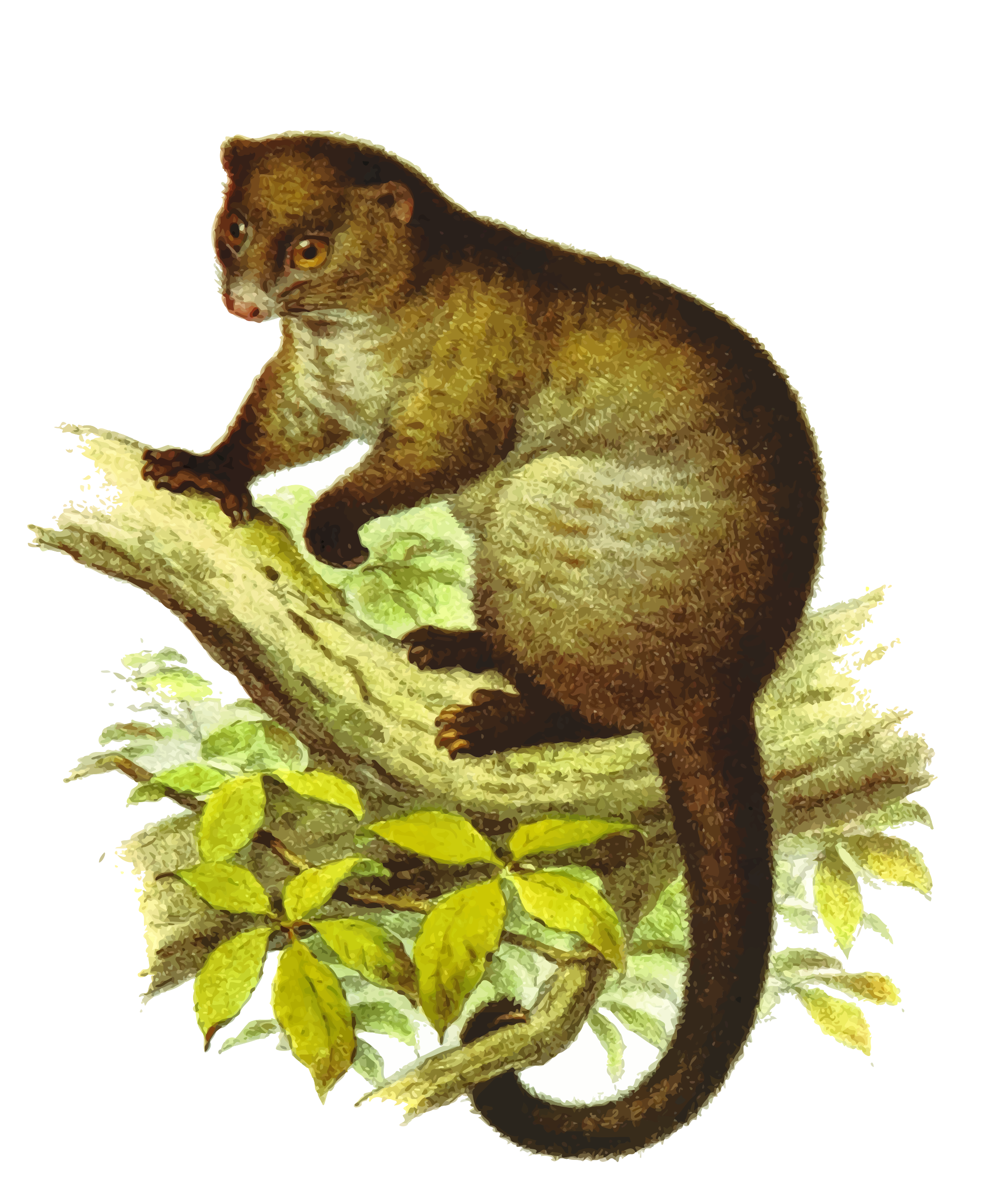 Lemuroid ringtail by Firkin