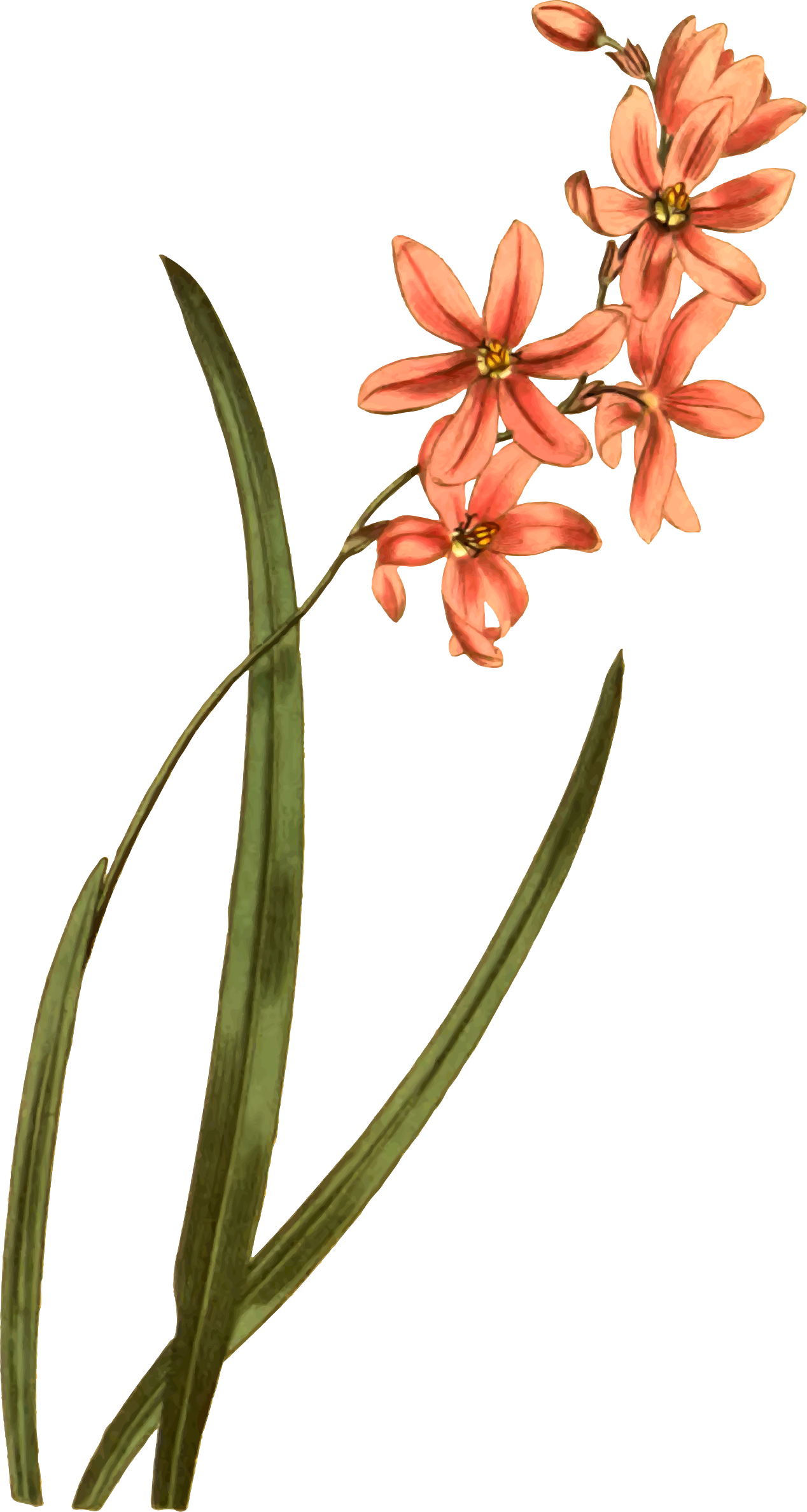 Lily of the valley-scented ixia by Firkin
