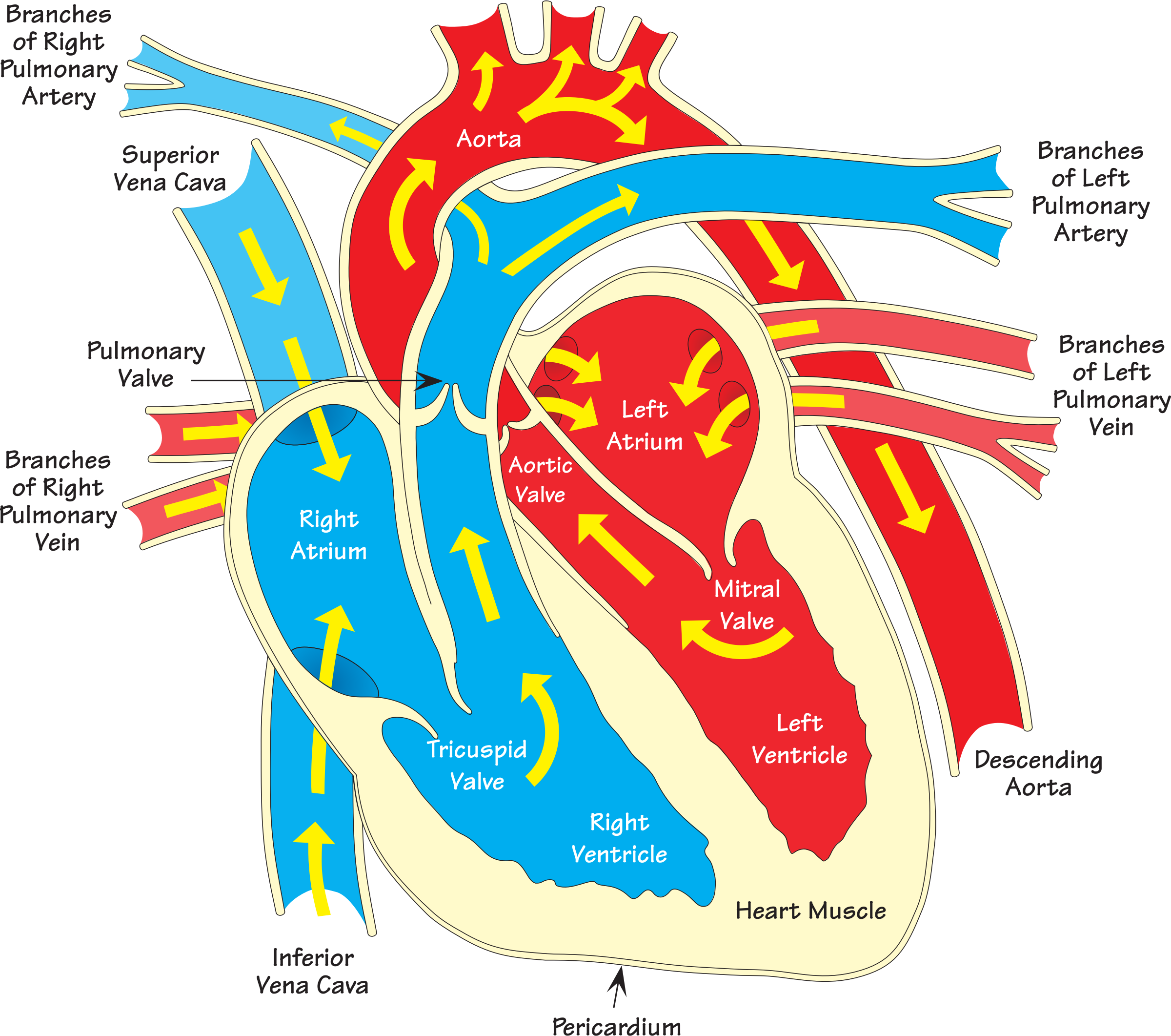 Clipart - Heart diagram 2 (annotated)