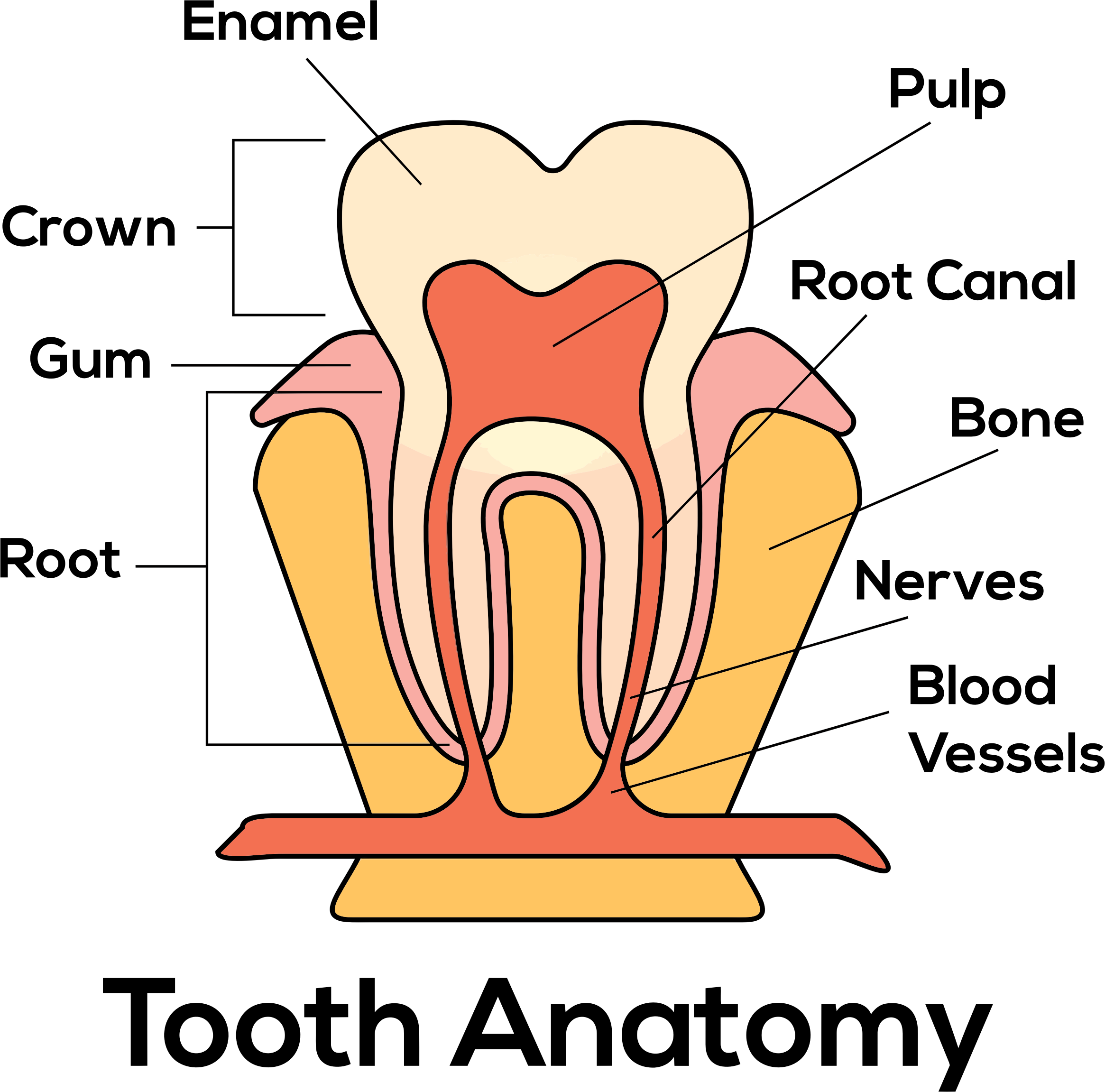 Clipart - Tooth Anatomy By Paul Brennan