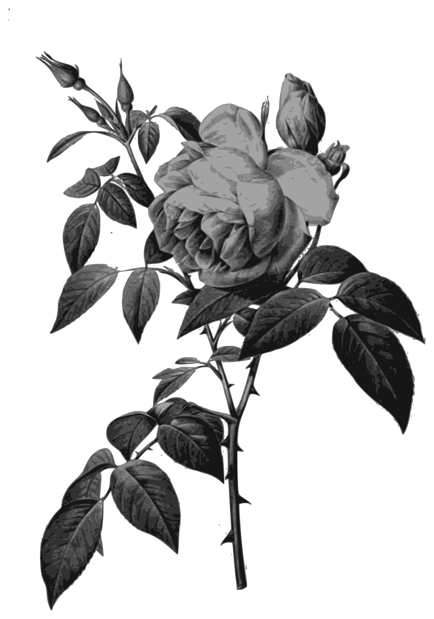 Redoute - Rosa indica fragrans - grayscale by warszawianka