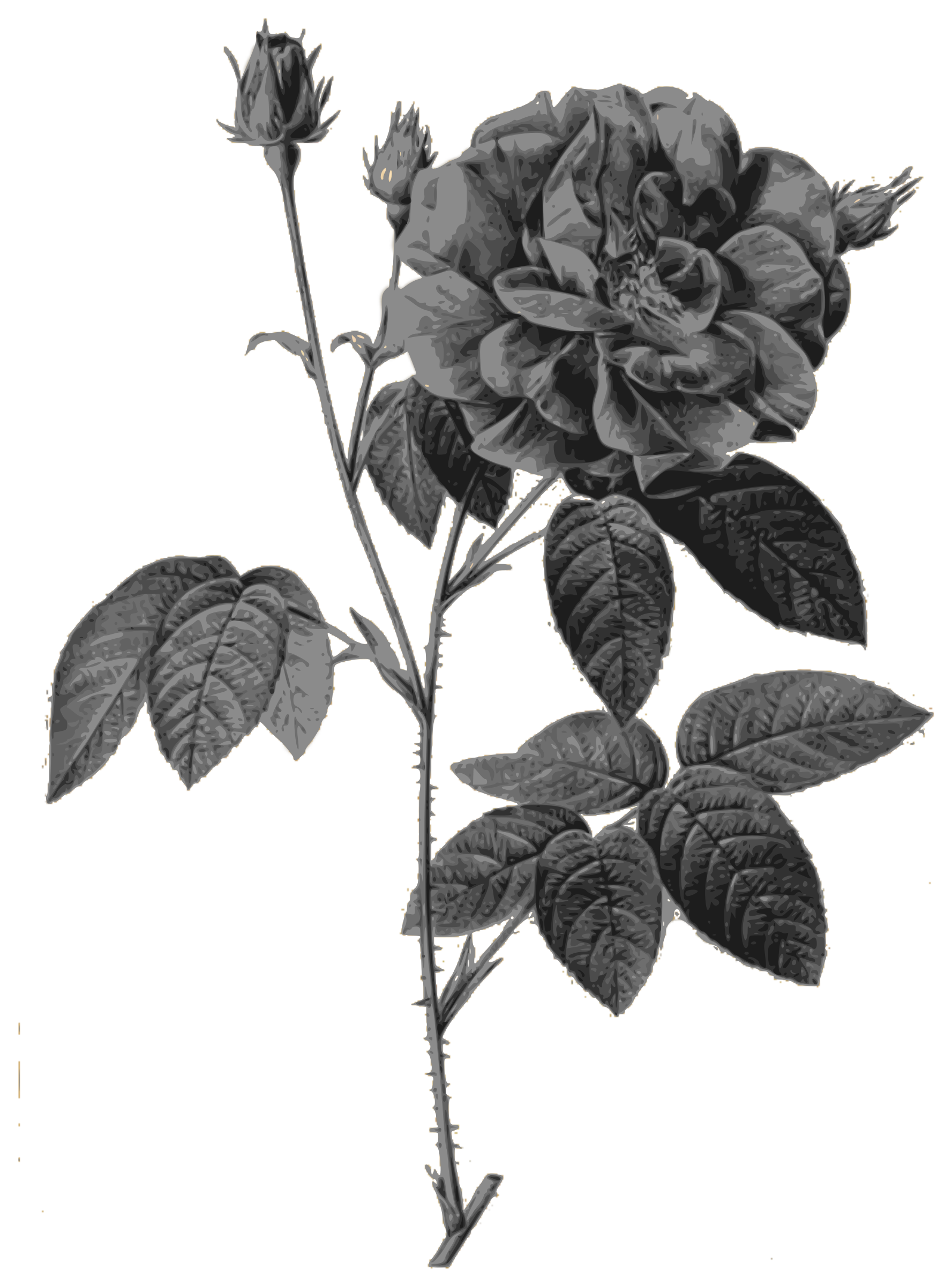 Redoute - Rosa gallica officinalis - grayscale by warszawianka