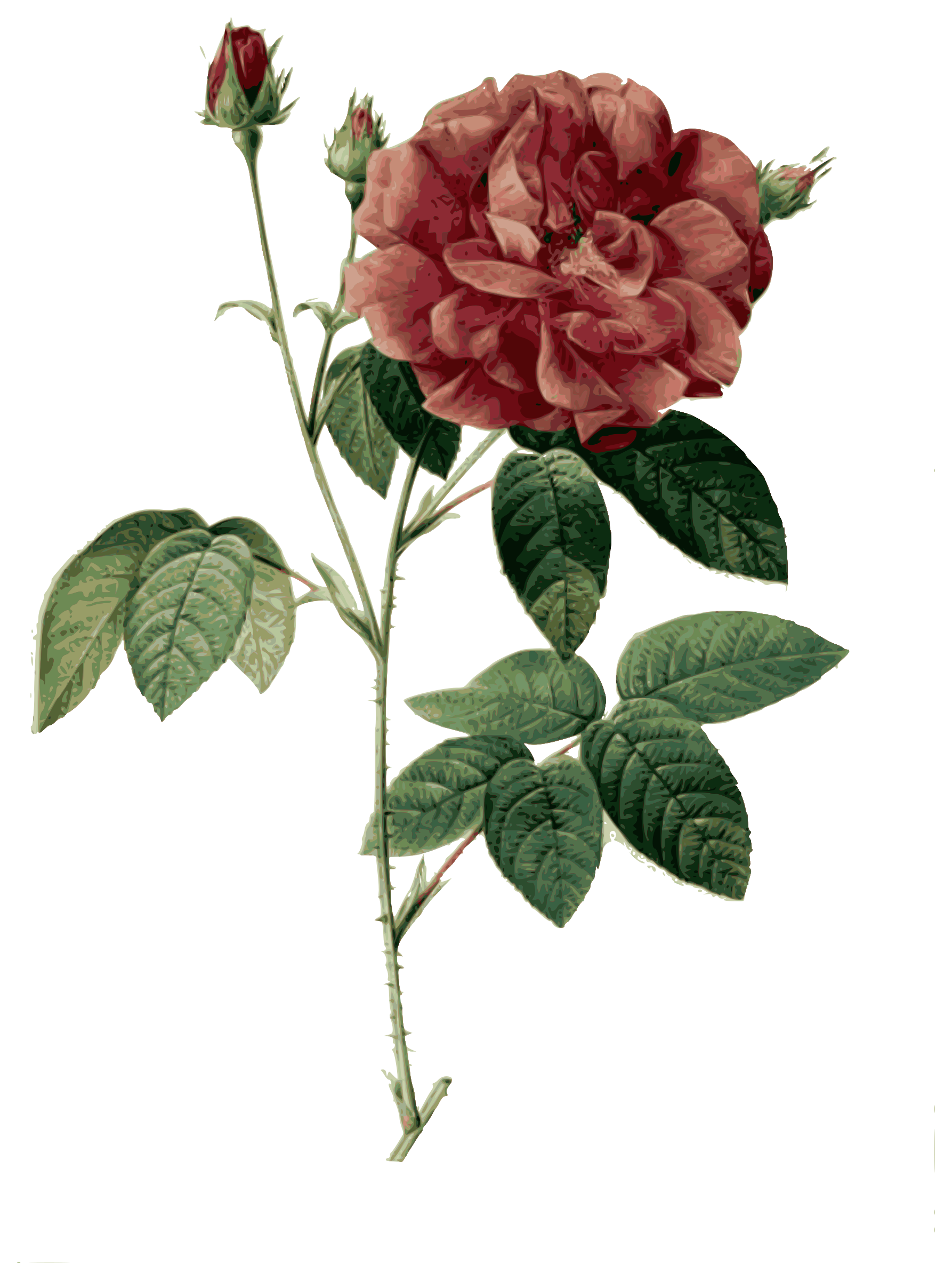 Redoute - Rosa gallica officinalis - color by warszawianka