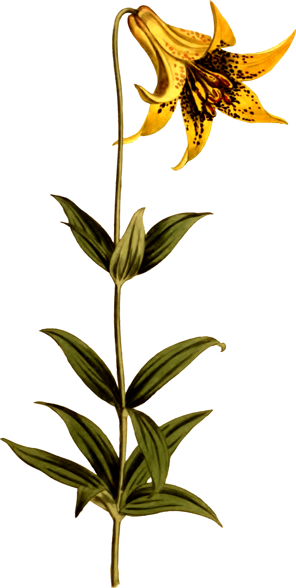 Canadian lily by Firkin
