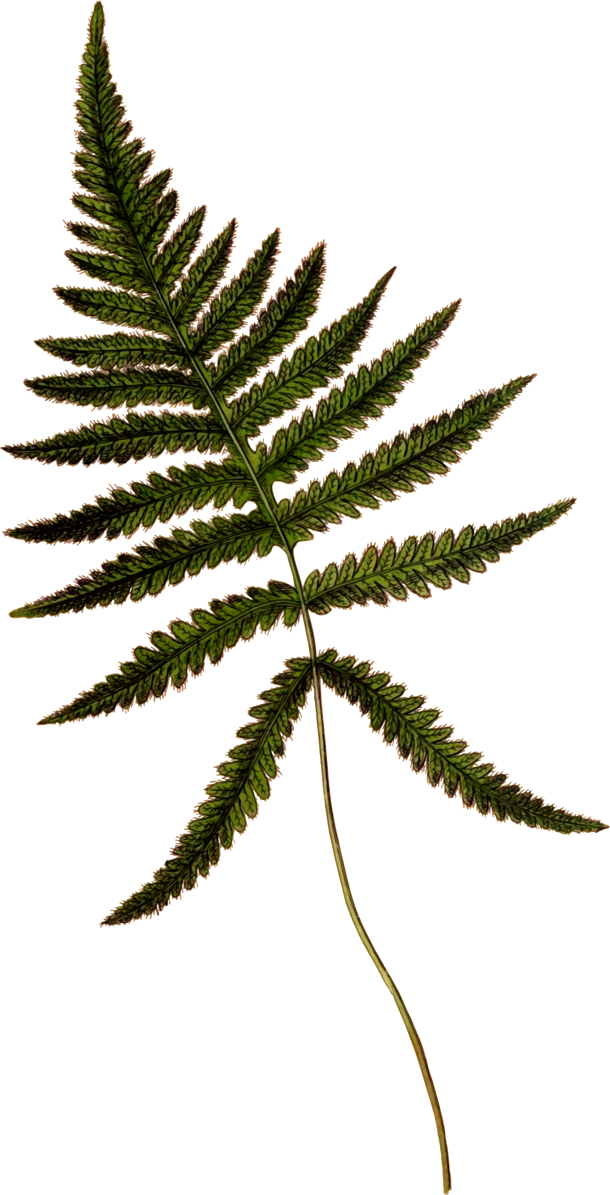 Polypodium phegopteris by Firkin
