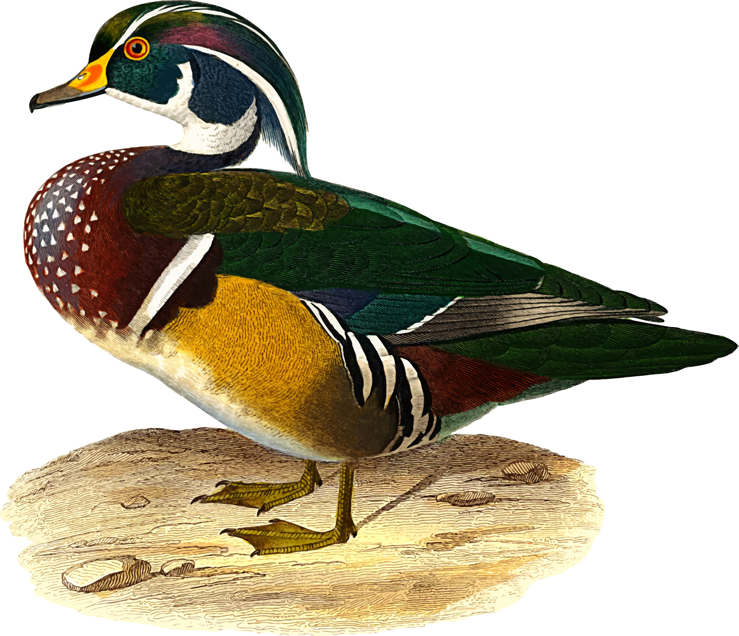 Wood duck by Firkin