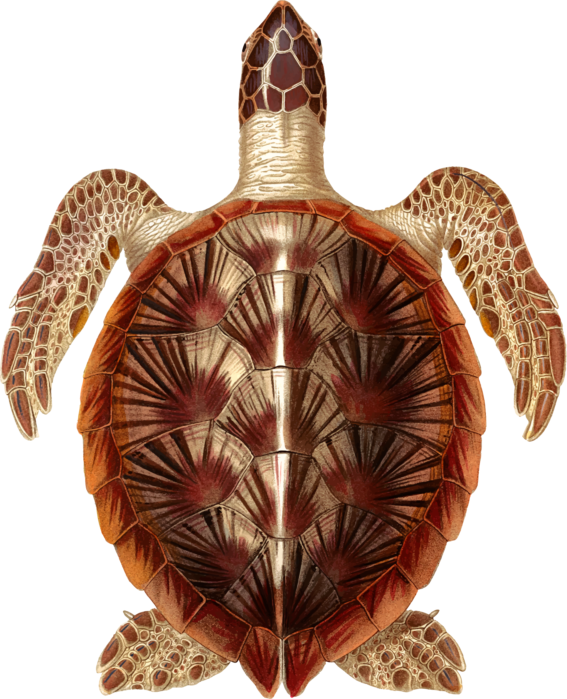 Green sea turtle by Firkin