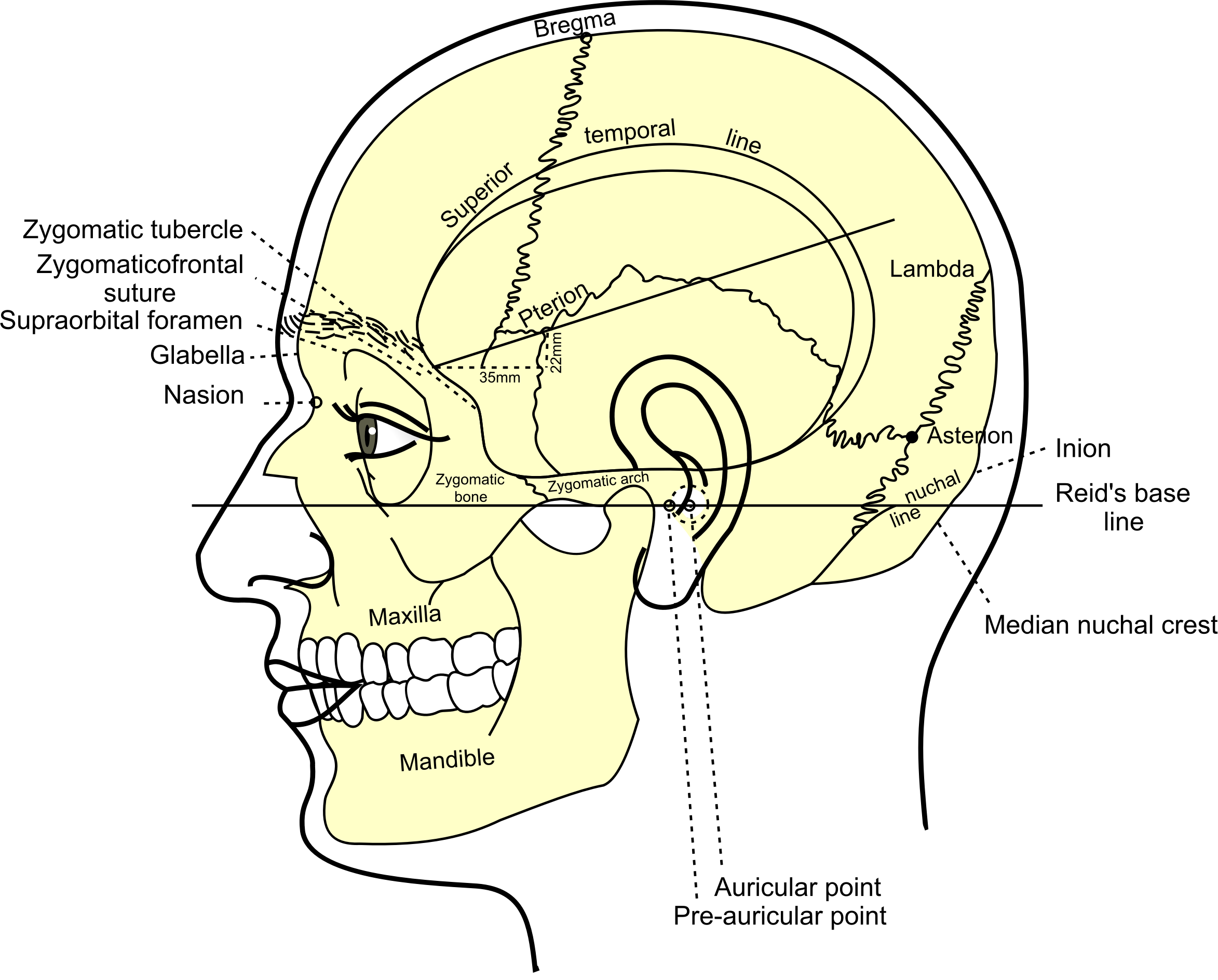 Grays Anatomy Side View Of Head by GDJ