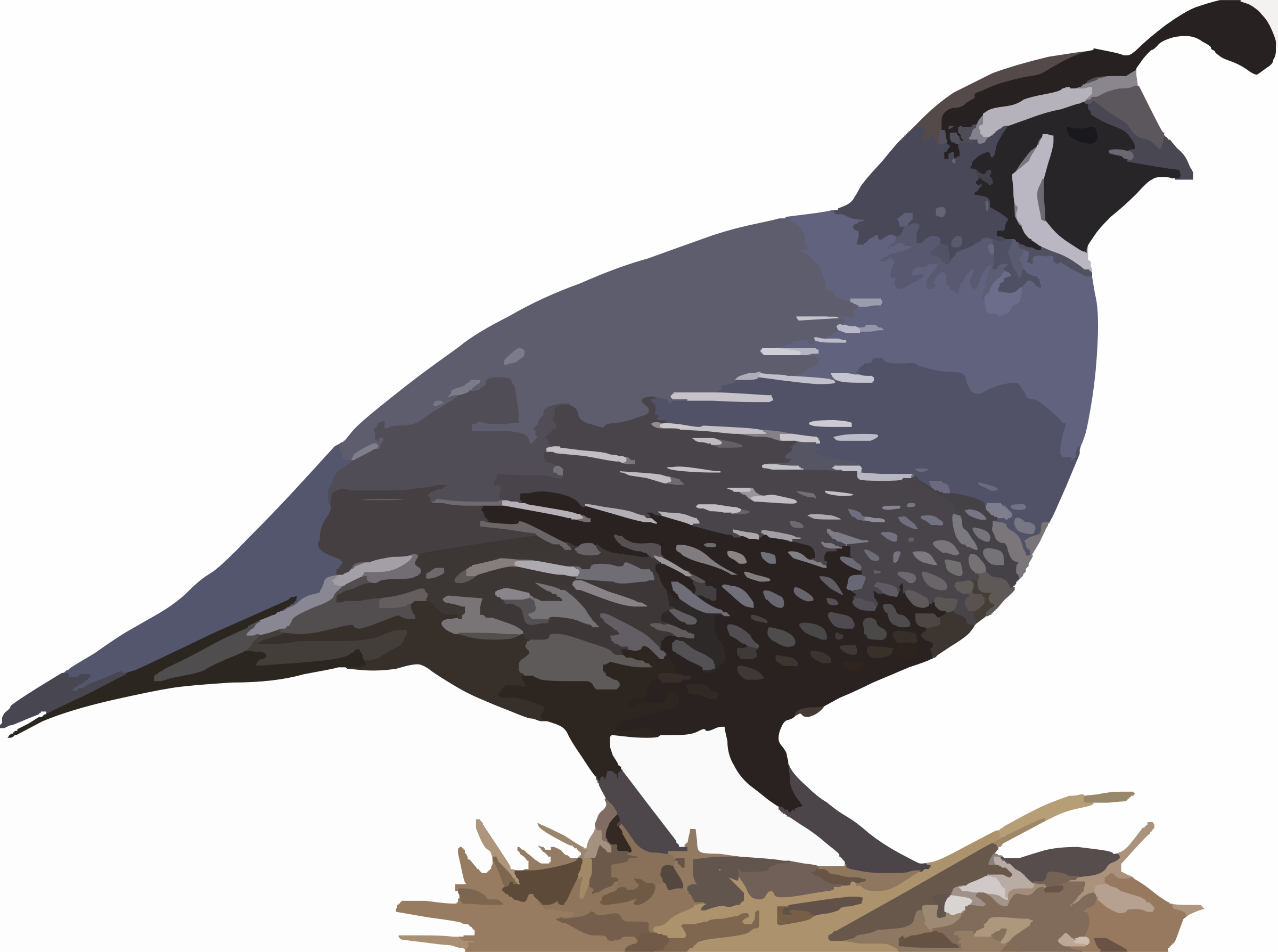 California Quail by Deluge
