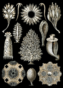 https://openclipart.org/image/300px/svg_to_png/229077/Haeckel_Calcispongiae.png