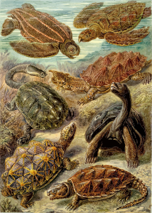 https://openclipart.org/image/300px/svg_to_png/229081/Haeckel_Chelonia.png