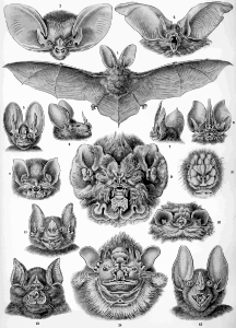 https://openclipart.org/image/300px/svg_to_png/229082/Haeckel_Chiroptera.png