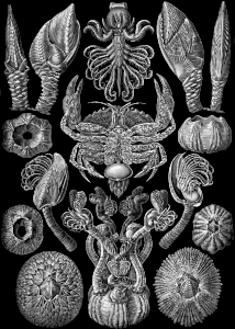 https://openclipart.org/image/300px/svg_to_png/229083/Haeckel_Cirripedia.png