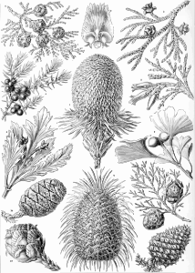https://openclipart.org/image/300px/svg_to_png/229085/Haeckel_Coniferae.png
