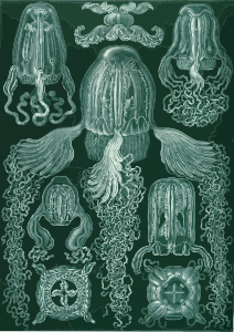 https://openclipart.org/image/300px/svg_to_png/229102/Haeckel_Cubomedusae.png