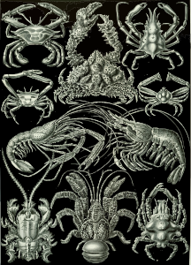 https://openclipart.org/image/300px/svg_to_png/229105/Haeckel_Decapoda.png