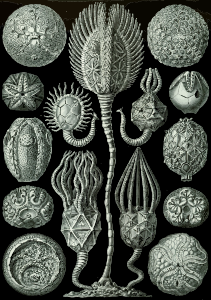 https://openclipart.org/image/300px/svg_to_png/229106/Haeckel_Cystoidea.png