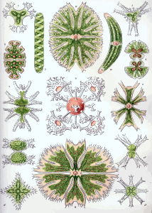 https://openclipart.org/image/300px/svg_to_png/229108/Haeckel_Desmidiea.png
