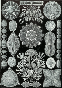 https://openclipart.org/image/300px/svg_to_png/229109/Haeckel_Diatomea.png