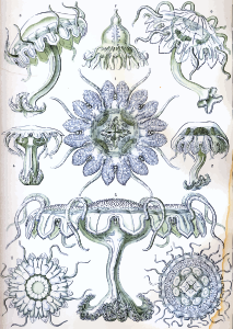 https://openclipart.org/image/300px/svg_to_png/229112/Haeckel_Discomedusae_18.png