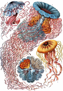 https://openclipart.org/image/300px/svg_to_png/229113/Haeckel_Discomedusae_8.png