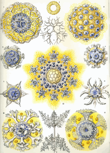 https://openclipart.org/image/300px/svg_to_png/229301/Haeckel_Polycyttaria.png