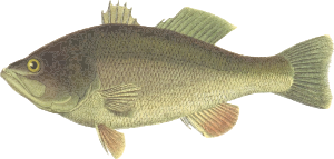 https://openclipart.org/image/300px/svg_to_png/229964/BlackBass.png