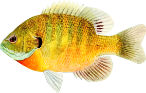 https://openclipart.org/image/300px/svg_to_png/237247/Fish8.png