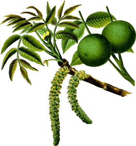https://openclipart.org/image/300px/svg_to_png/237813/WalnutTree2Hires.png