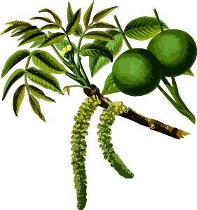 https://openclipart.org/image/300px/svg_to_png/237814/WalnutTree2Lores.png