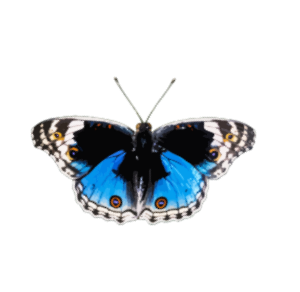 https://openclipart.org/image/300px/svg_to_png/238173/Butterfly8.png
