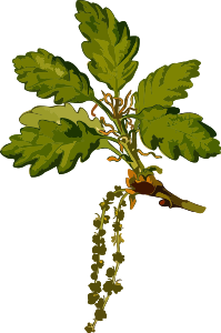 https://openclipart.org/image/300px/svg_to_png/239966/SessileOak2Lores.png