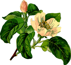 https://openclipart.org/image/300px/svg_to_png/240617/Quince2Lores.png