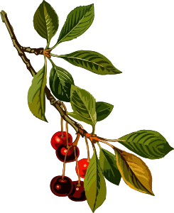 https://openclipart.org/image/300px/svg_to_png/240979/SourCherry2Lores.png