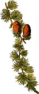 https://openclipart.org/image/300px/svg_to_png/241701/EuropeanLarch2Lores.png