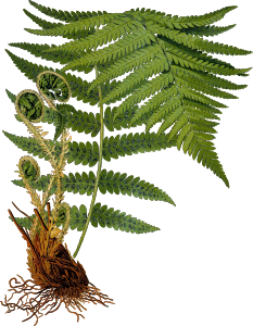 https://openclipart.org/image/300px/svg_to_png/242399/MaleFern2Hires.png
