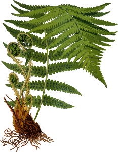 https://openclipart.org/image/300px/svg_to_png/242400/MaleFern2Lores.png
