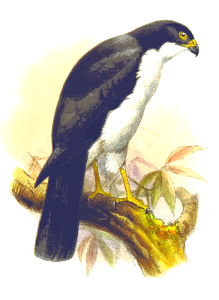 https://openclipart.org/image/300px/svg_to_png/243282/PiedGoshawk.png