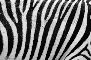 https://openclipart.org/image/300px/svg_to_png/243363/ZebraFur.png