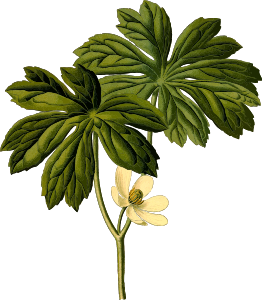 https://openclipart.org/image/300px/svg_to_png/246012/MayappleHires.png