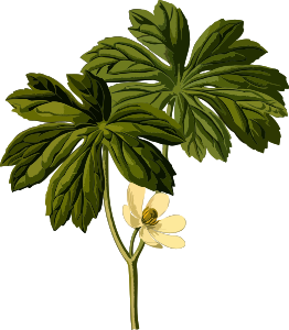 https://openclipart.org/image/300px/svg_to_png/246014/MayappleLores.png