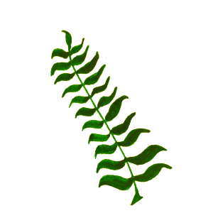 https://openclipart.org/image/300px/svg_to_png/252967/TJ-79--Leaf-Detailed-pointed-21-6-16-copy.png